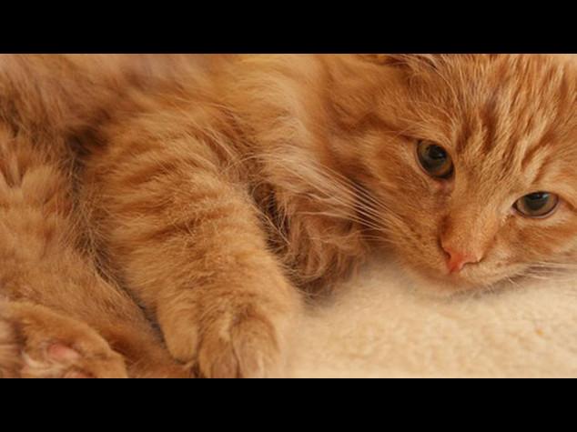 Uno dei gatti piu' grassi di Londra usa l'iPad per fare ginnastica