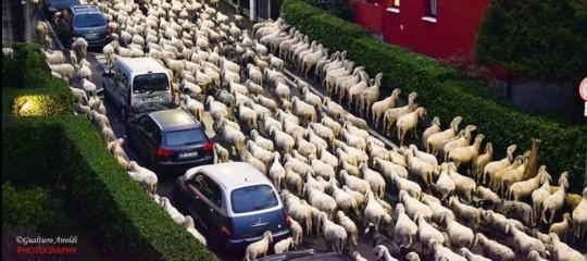 Lecco: un gregge di pecore in transumanza bruca le siepi condominiali