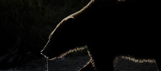 Un grizzly ha ucciso una donna e la sua bambina di 10 mesi in Canada