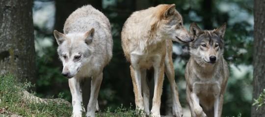 Quanti sono realmente i lupi in Italia