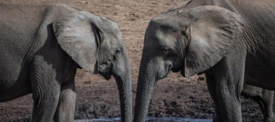 elefanti senza zanne