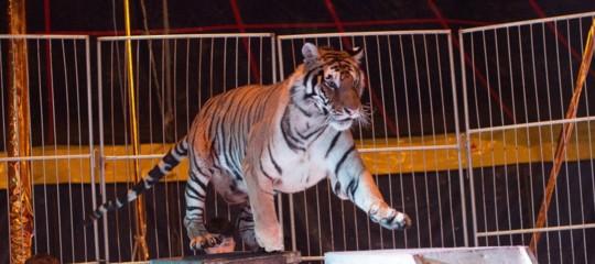 Entra in una gabbia del circo a Reggio Calabria, le tigri gli staccano braccio