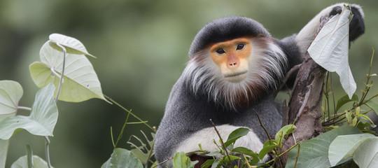 Mangiano una scimmia rara in diretta Facebook, sei arresti in Vietnam