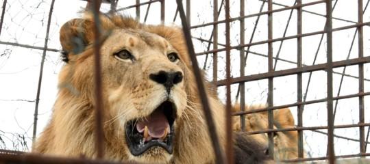 Leone fugge da gabbia e uccide giovane neoassunta al parco diBurlington