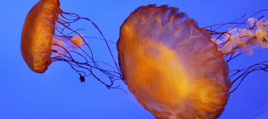 Invasione di meduse sulle coste australiane, già 3.500 le persone ferite