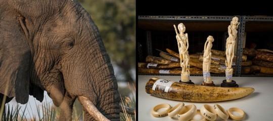 estinzione rinoceronti elefanti leoni