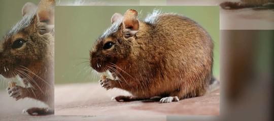 Questo topo australiano è il primo mammifero estinto a causa dei cambiamenti climatici indotti dall'uomo