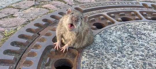 ratto incastrato tombino germania
