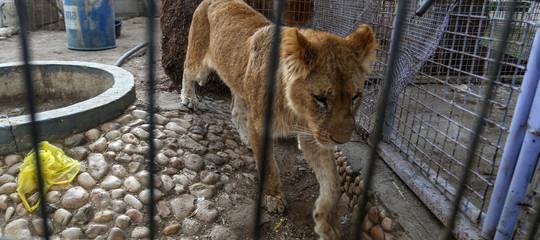 leoni scimmie striscia gaza