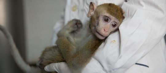 scimmie transgeniche cina