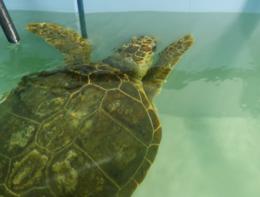 La tartaruga Olivastra salvata in Toscana torna in mare