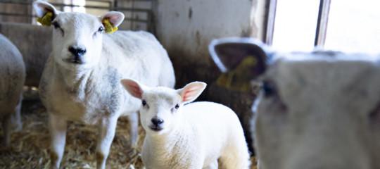 come uccidere agnelli macellazione vissani
