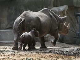 Allo zoo Lincoln Park di Chicago è nato Kapuki, un rinoceronte nero