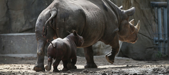 rinoceronte nero estinzione