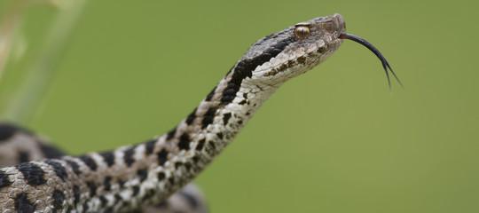 morsi serpenti