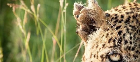 leopardo attacco sudafrica kruger