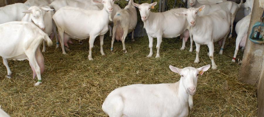 Allarme in Piemonteper la 'febbre Q' che viene dalle capre