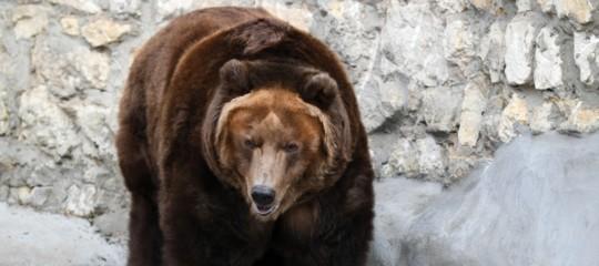 escursionista attaccato da orso