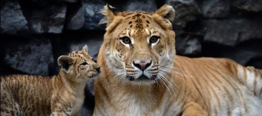 ligre tigonetiligreincrocio leone tigre