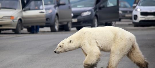 orso polare denutrito russia