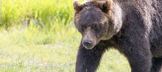 cattura orso m49 trentino