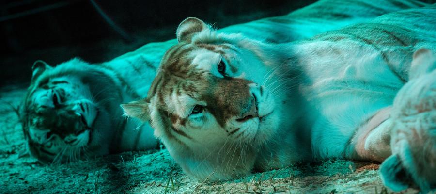 Un domatore del circoOrfeiè stato ucciso da 4 tigri durante le prove nel barese