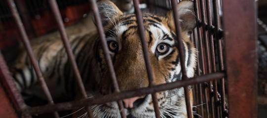 tigri domatore circo morto