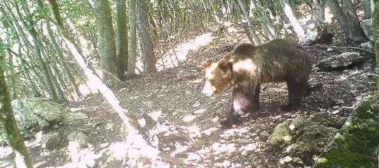 orso m49 fuga foto