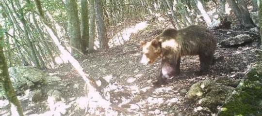 abbattimento orso m49 regole