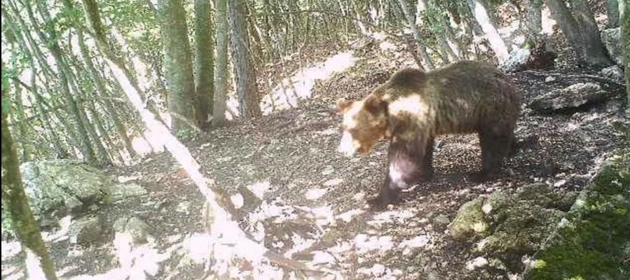 È legittimo l'ordine di abbattere l'orsoM49in Trentino?