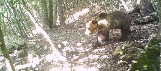 m49 orso avvistamenti