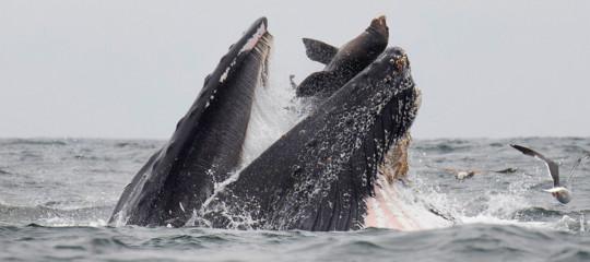 balena mangia leone marino