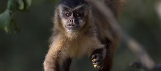 scimmie studio evoluzione