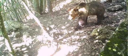 spari orso m49