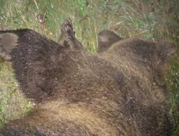 Un'orsa è stata investita e uccisa nel Molisano