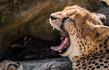 estinzione ghepardi