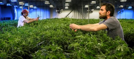 cannabisconsumo marijuanaguadagni