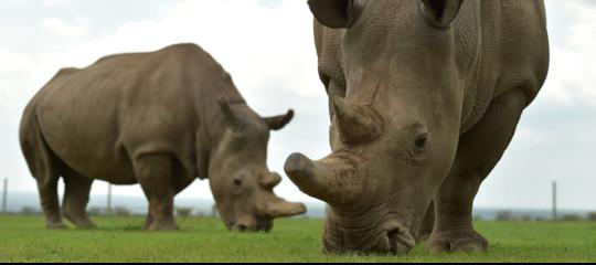 rinoceronti bianchi embrioni estinzione