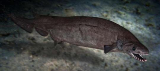 scheletro fossile squalo preistorico