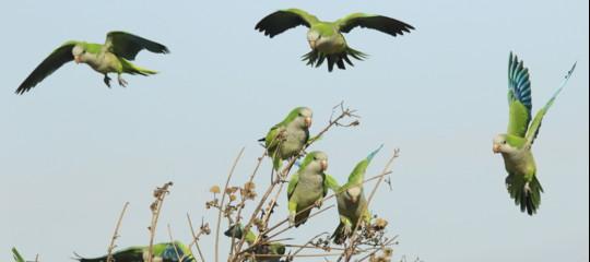 eliminazione pappagallini verdi parrocchetti monaci