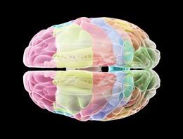 Scoperto un enzima che ha reso il cervello umano diverso dagli altri