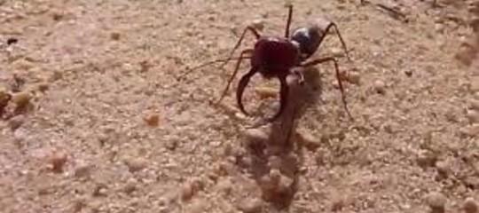 formiche super veloci sahara