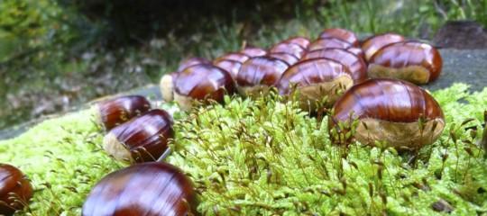 castagne raccolto cinipide galligeno