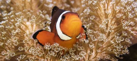 Nemo pesce pagliaccio clima