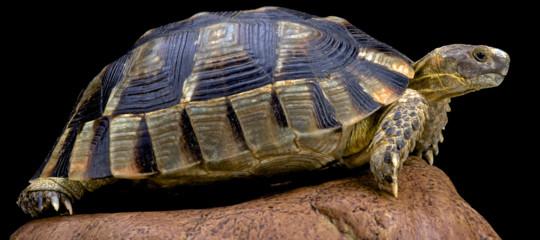 tartarughe testudo marginata aereo
