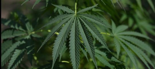 cannabis light droga