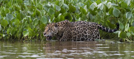 giaguaro brasile mangia pesce wwf