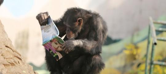 scimpanze intelligenza