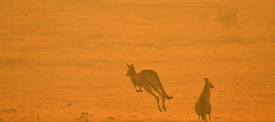 roghi australia animali morti