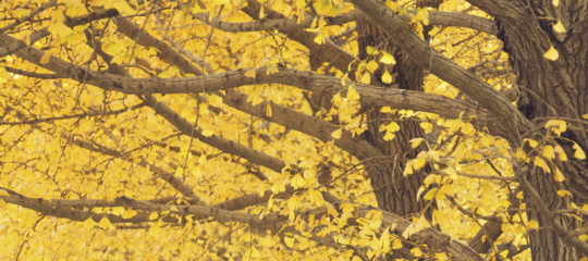ginko alberi millenari longevi stress